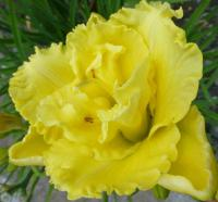 (Hemerocallis hybrida) Denivka 'Ruffled Double Frills'