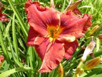 Hemerocallis hybrida   'Suddenly It's Autumn' - denivka