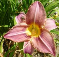 (Hemerocallis hybrida) Denivka 'Seductress'