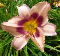 Hemerocallis hybrida  'CZ Royalty' - denivka