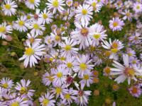 (Aster lateriflorus) Hvězdnice 'Coombe Fishacre'