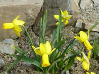 Narcis 'Warbler' (Narcissus x hybridus)