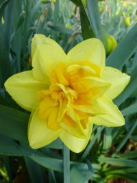 narcis Narcissus  'Apotheose'
