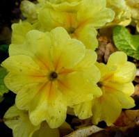 prvosenka Primula x polyantha  'You and Me Yellow'