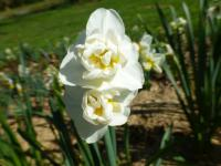 Narcis 'Cheerfulness' (Narcissus x hybridus)