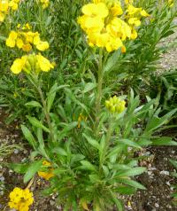 (Erysimum cheiri) Chejr vonný 'Cloth of Gold'