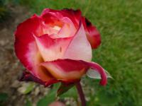 Růže 'Double Delight' (Rosa)