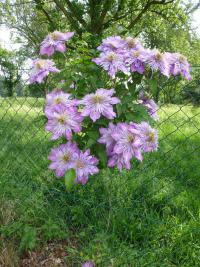 Clematis  'Crystal Fountain' - plamének
