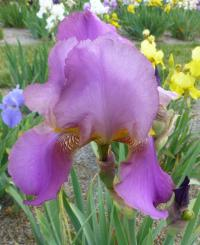 Kosatec bradatý 'Tournament Queen' (Iris barbata elatior)