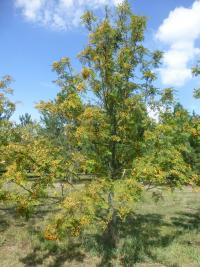 Jeřáb 'Upright Yellow' - habitus s plody (Sorbus hybrida)