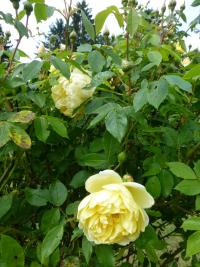 Rosa  'Yellow Romantica' - růže