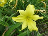 Hemerocallis  'Hudson Valley' - denivka