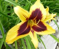 Hemerocallis  'Bold One' - denivka