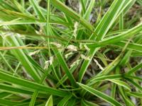 (Carex foliosissima) Ostřice 'Ice Dance'