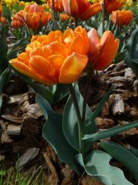 Tulipán 'Orange Princess' (Tulipa x hybrida)