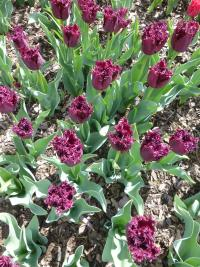 Tulipa  'Black Jewel' - tulipán