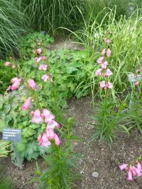 Dračík 'Evelyn' (Penstemon hybridum)