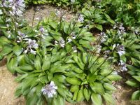 Bohyška 'Devon Green' (Hosta)