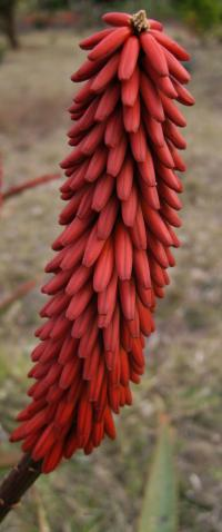 (Aloe excelsa) Aloe excelsa red flower