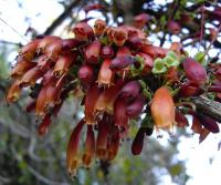 The fucsia tree (Halleria lucida)