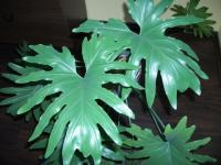 Filodendron (Philodendron selloum)