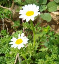 (Anthemis rascheyana) Anthemis