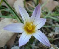 Romulea (Romulea bulbocodium)