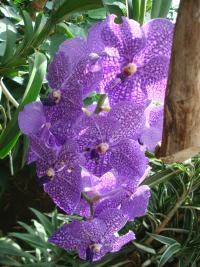 Vanda (Vanda Purple Magic)