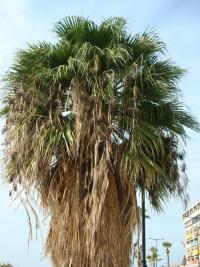 (Washingtonia robusta) Washingtonie