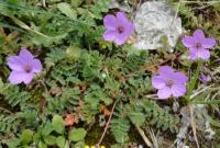(Erodium acaule) Erodium