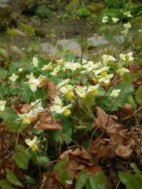 Škornice (Epimedium sp)
