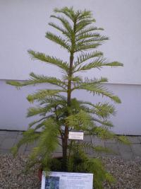 (Wollemia nobilis) Wollemie