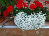 Laločnice Snow Princess (Lobularia)