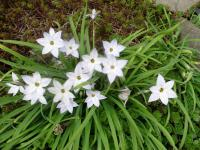 Ifejon jednokvětý (Ipheion uniflorum)