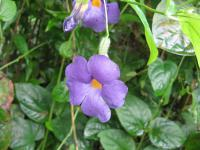 (Thunbergia battiscombe) Thunbergie