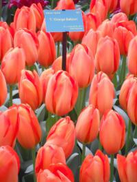 Tulipán Orange Ballon (Tulipa hybridum)