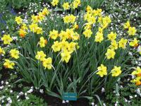 Narcis Orange Progress (Narcissus x hybridus)