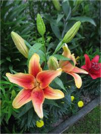 (Lilium x hybridum) Lilie 'First Crown' - AO hybridy