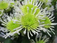 Chryzantéma 'Arnura Green' (Chrysanthemum)