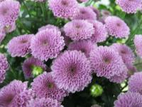Chryzantéma 'Calimero Dark Pink' (Chrysanthemum)