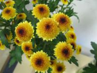 Chryzantéma 'Cedis Yellow' (Chrysanthemum)