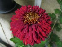 Chryzantéma 'Escort' (Chrysanthemum)