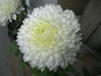 Chryzantéma 'Evelyn' (Chrysanthemum)