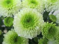 Chryzantéma - Ferry Lime (Chrysanthemum)