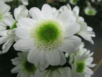 Chryzantéma 'Java' (Chrysanthemum)