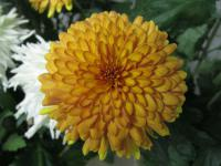 Chryzantéma 'Kiew Golden' (Chrysanthemum)