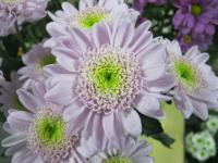 Chryzantéma 'Optimist' (Chrysanthemum)
