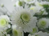 Chryzantéma 'Stallion White' (Chrysanthemum)