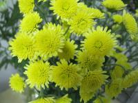 Chryzantéma 'Stallion Yellow' (Chrysanthemum)