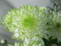 Chryzantéma 'Zembla Lime' (Chrysanthemum)